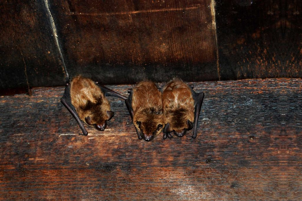 Wildlife Removal Dayton Ohio photo of bats clinging to side of a wall in a dayton ohio attic.