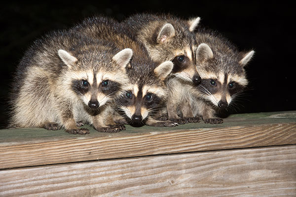 Nuisance Wildlife Removal photo of nuisance raccoons begging for food on homeowners porch